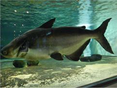 世界最大級の淡水魚