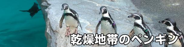 乾燥地帯のペンギン、フンボルトペンギン