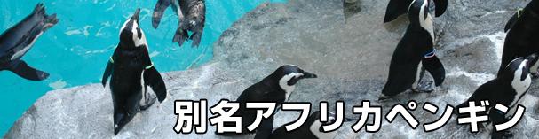 別名アフリカペンギン、ケープペンギン