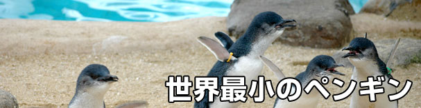 世界一のペンギン、コガタペンギン